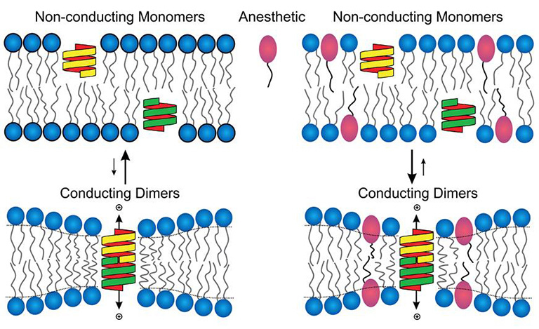 Study Offers New Clue Into How Anesthesia Works