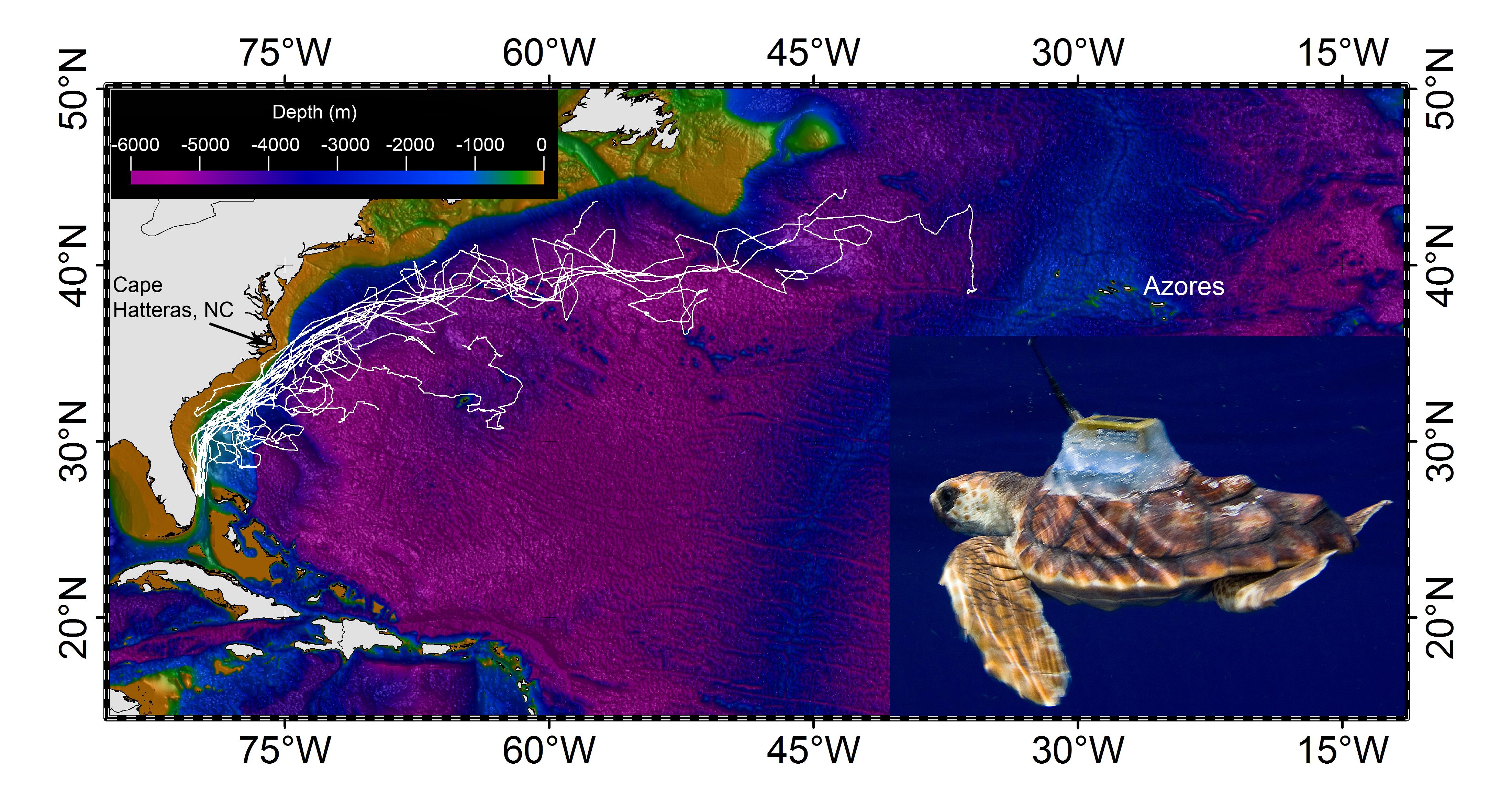 sea turtles u0027lost years u0027 mystery starts to unravel