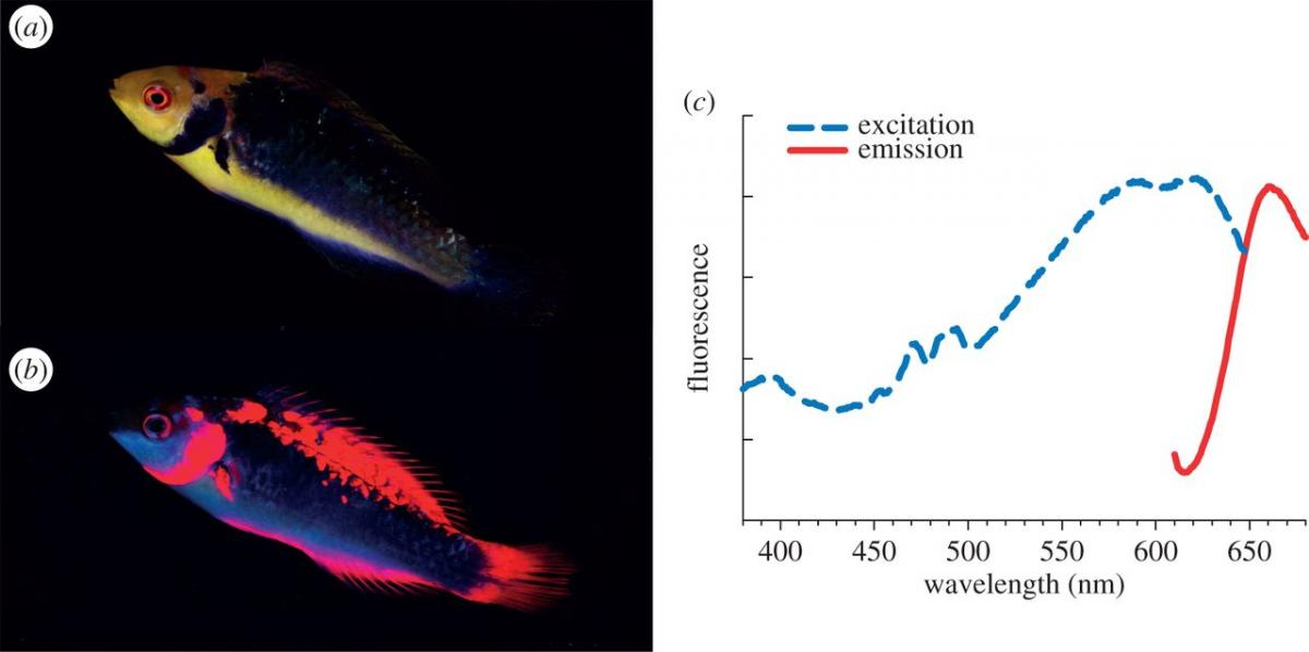 Study shows fairy wrasses perceive and respond to their ...
