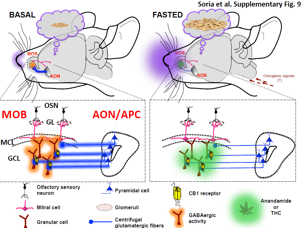 Brain mechanism connecting sense of smell with appetite discovered diagram representing the mechanisms assumed to be involved in the endo cannabinoid effects on olfactory circuits inmice which have fasted credit upvehu ccuart Images