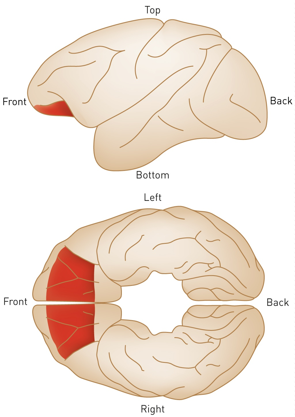 The role of a specific brain region in deciding between conflicting ...