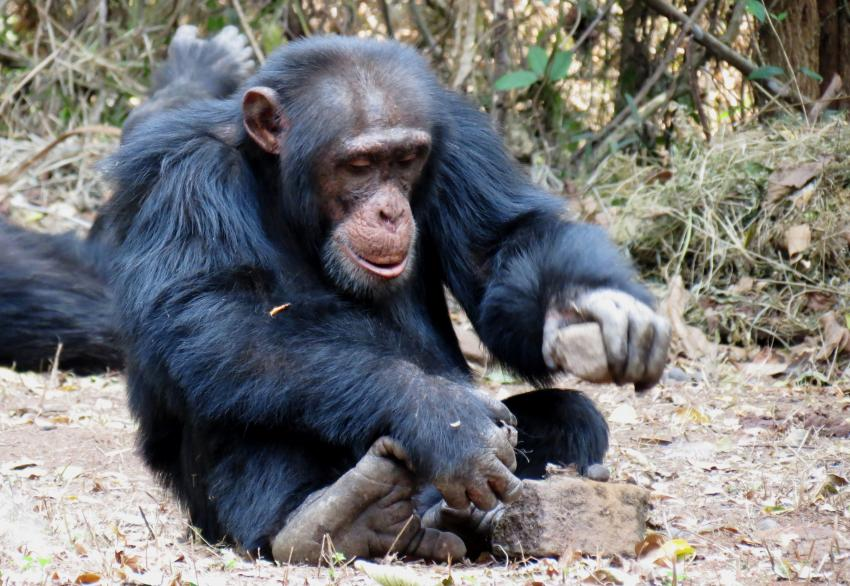 tool use in chimps That means they have entered the stone age  that means there is a deep history of stone tool use in at least three primates  chimps might not have learned.