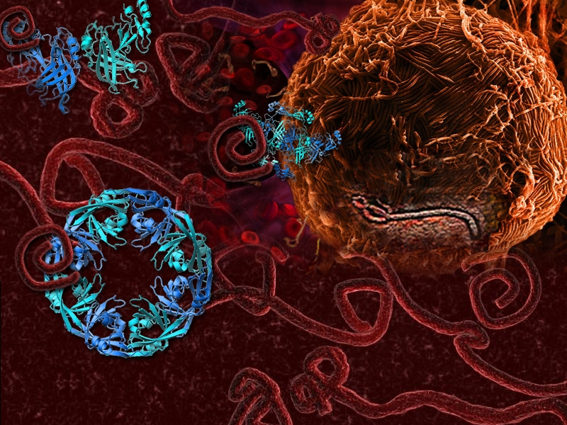 transformer protein provides new insights into ebola virus disease