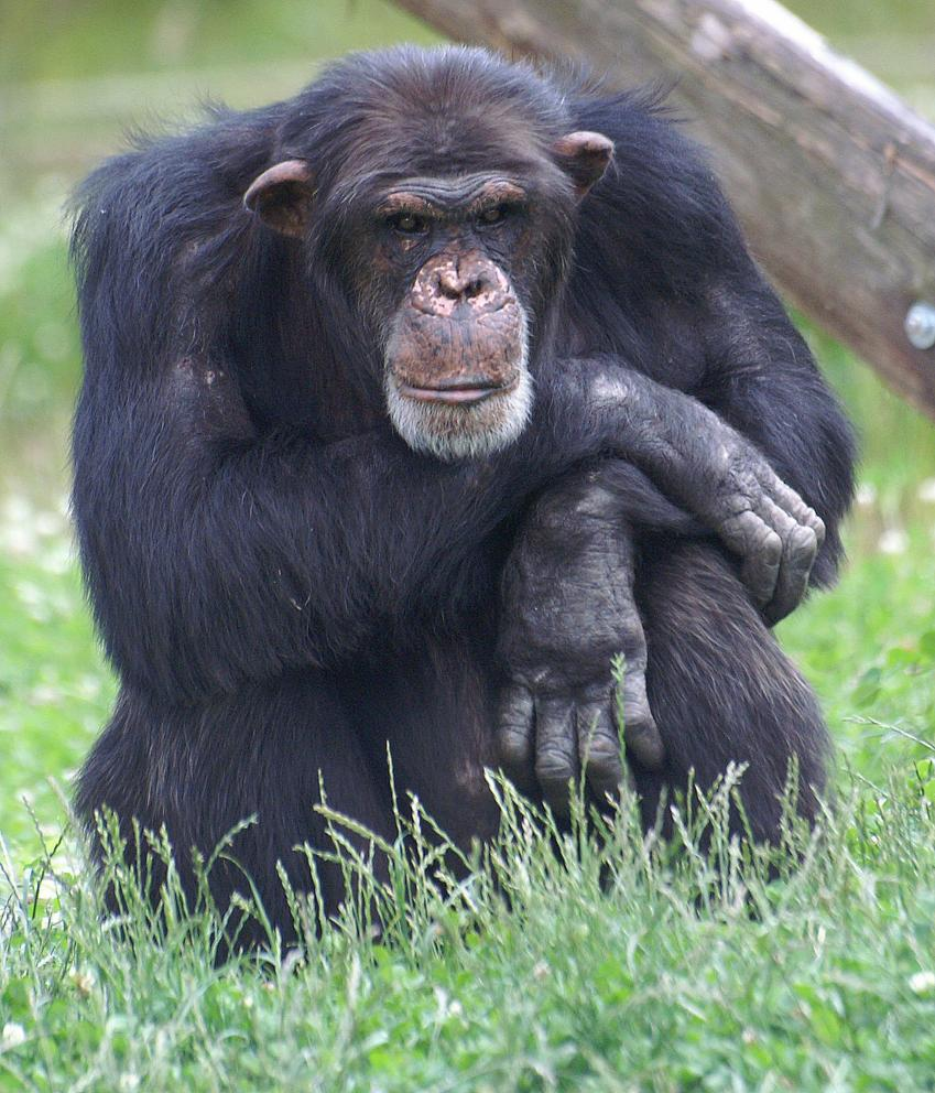 C For Chimpanzee Father's age influence...