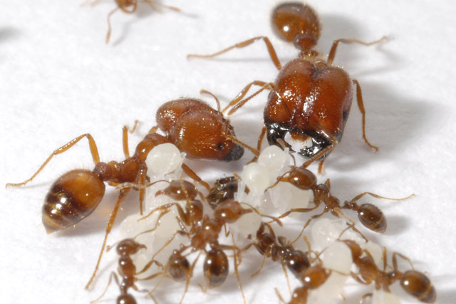 fire ants Fire ants are red-colored insects a sting from a fire ant delivers a harmful substance, called venom, into your skin this article is for information only.