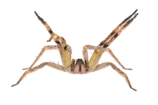 Brown Recluse Spider Bite: Pictures, Images