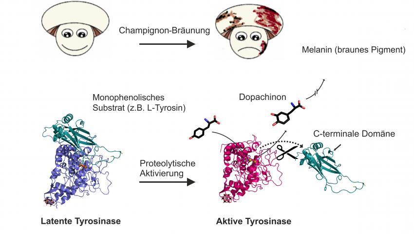 enzyme tyrosinase An enzyme that catalyzes melanin formation from the amino acid tyrosinase catalyzes ______________ pigment formation from the a graph of the range of wavelengths reflected and absorbed by.