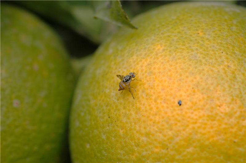 Fruit flies controlled in orange crops without pesticide use