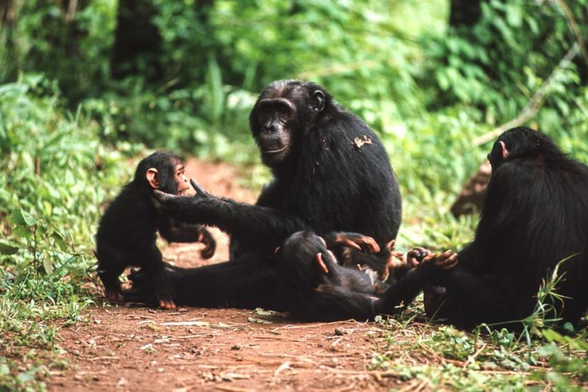 """a study of chimpanzee aggression cannibalism and infanticide A new study describes the first case of an  cannibal chimpanzee seen eating a newly  """"infanticide and cannibalism impose large reproductive."""