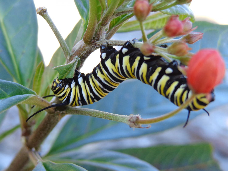 A Monarch Caterpillar Munches On Tropical Milkweed In A Garden At The  Landings In Savannah, Ga., In January 2014. Credit: Dara Satterfield/UGA