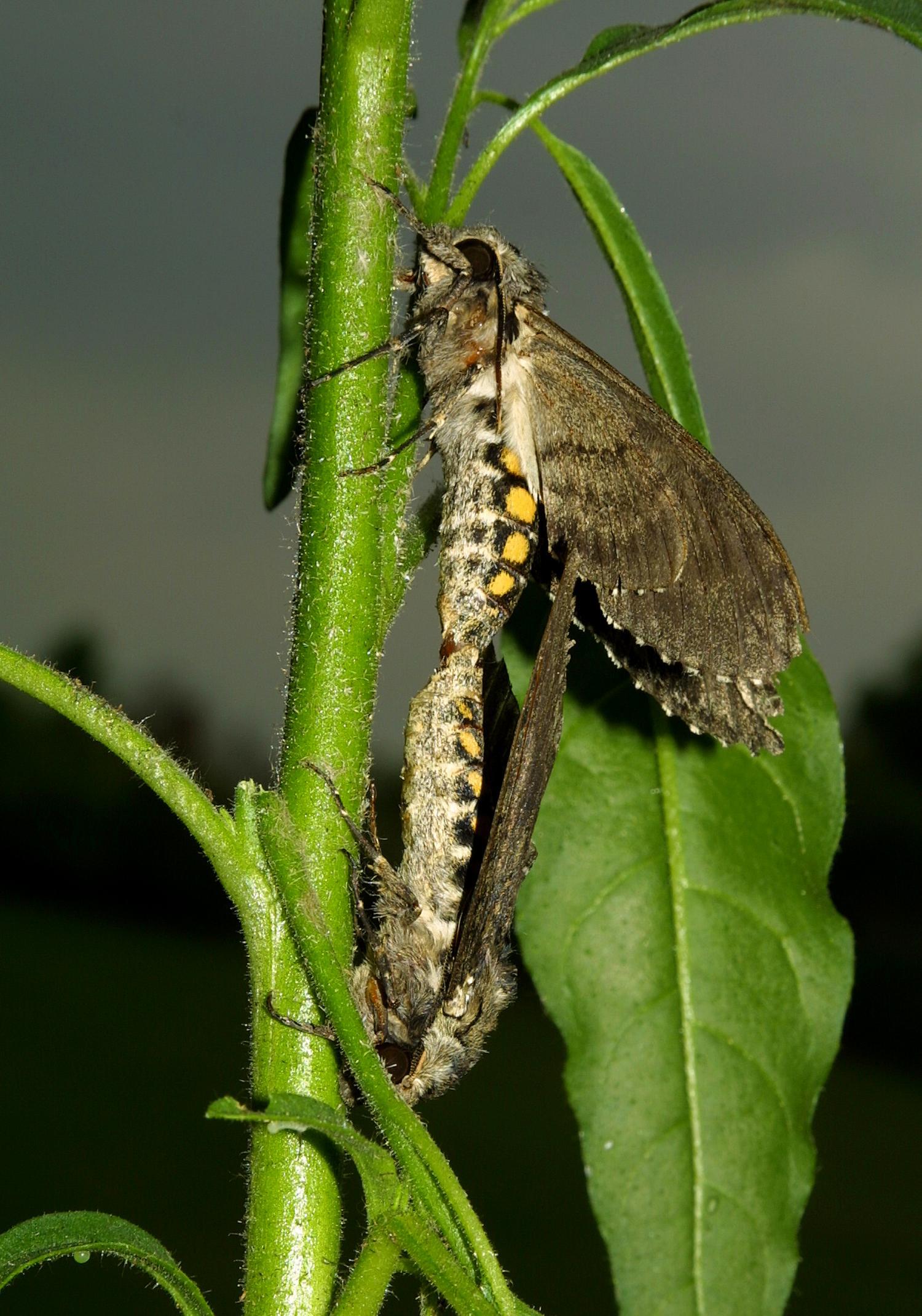 Manduca sexta moths mating. Credit: Danny Kessler / Max Planck Institute  for Chemical Ecology