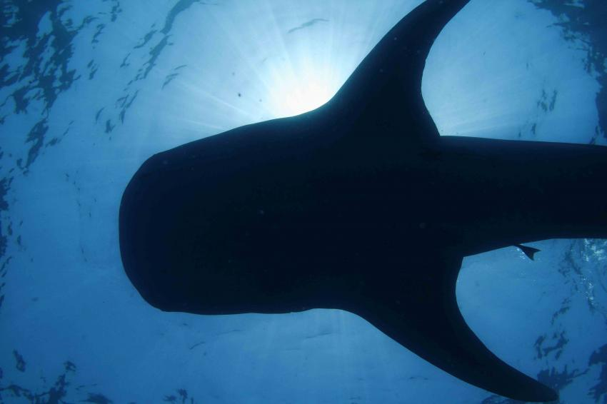 Biggest fish in the ocean receives international protection for Other fish in the sea
