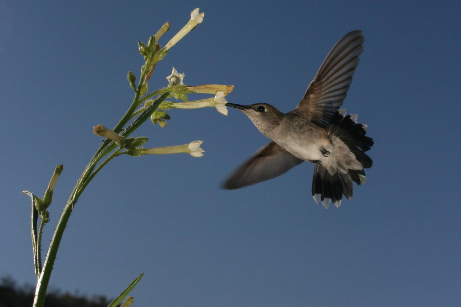Flowering Tobacco Attracts Hummingbirds | Amazing Flowers That Attract Hummingbirds To Keep In Your Homestead