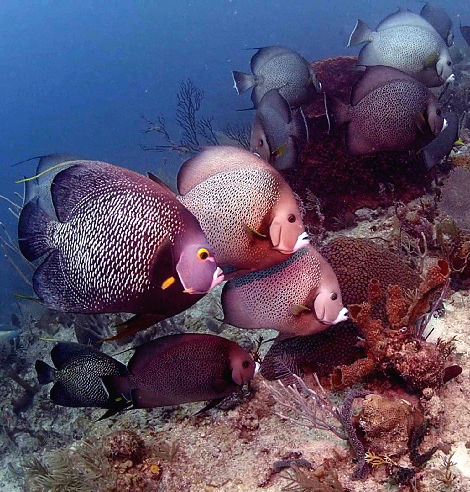 Endangered Corals Smothered By Sponges On Overfished