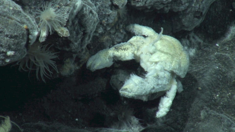 species of yeti crab found in Antarctica named after British deep ...