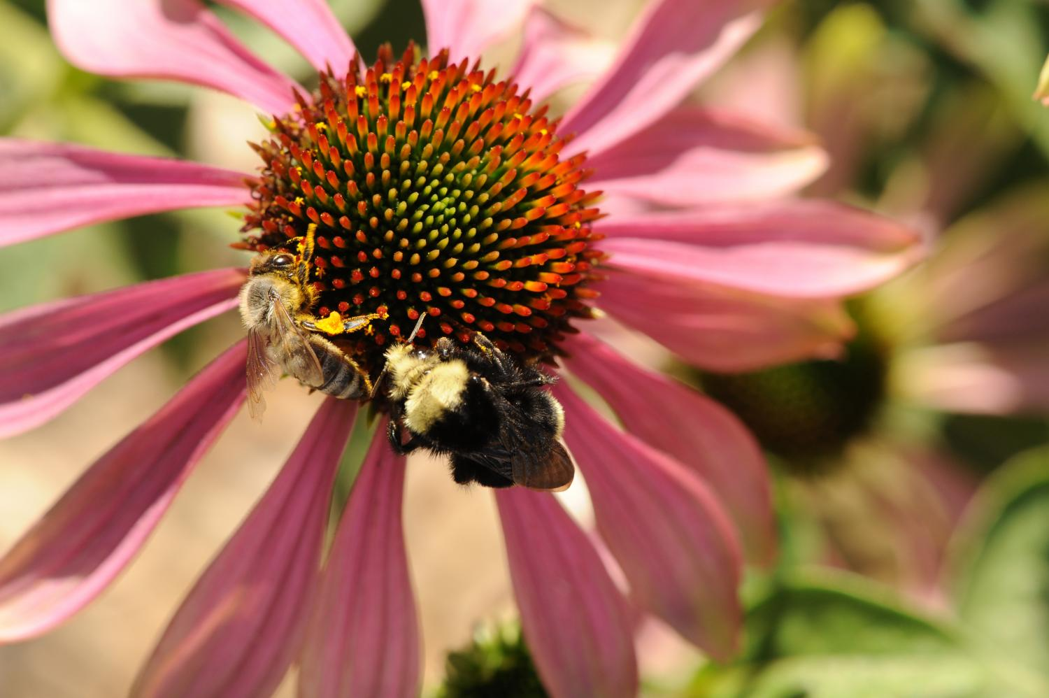 Flowers can endanger bees: Study shows flowers serve as parasite ...