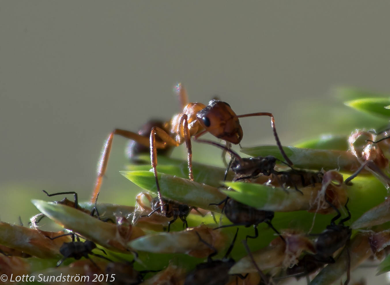 ants mate close to home and produce inbred offspring