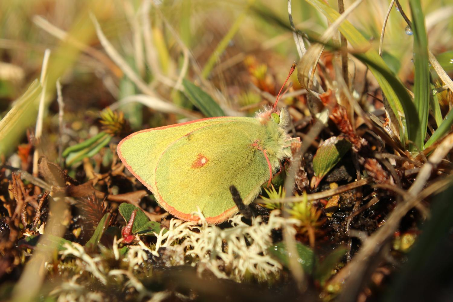 arctic butterflies shrink with rising temperatures
