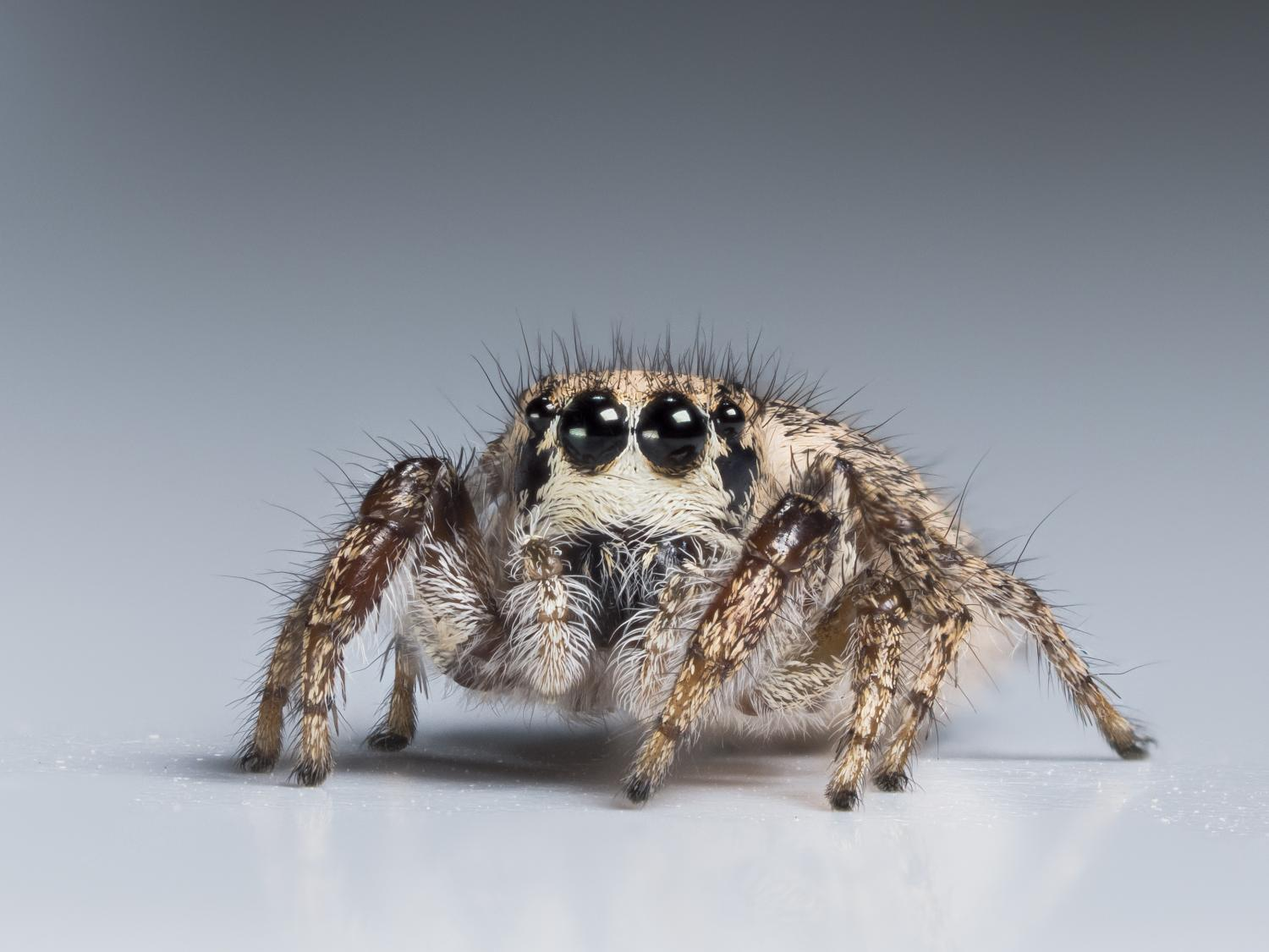jumping spiders are masters of miniature color vision - Pictures Of Spiders To Colour In
