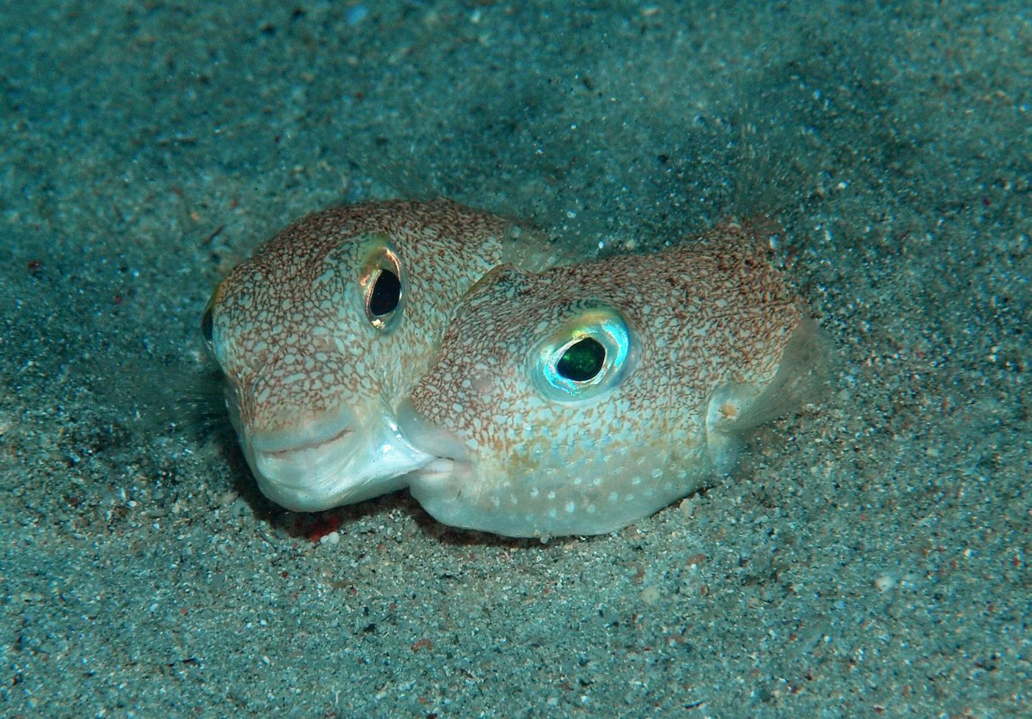 Scientists announce top 10 new species for 2015 for Types of puffer fish