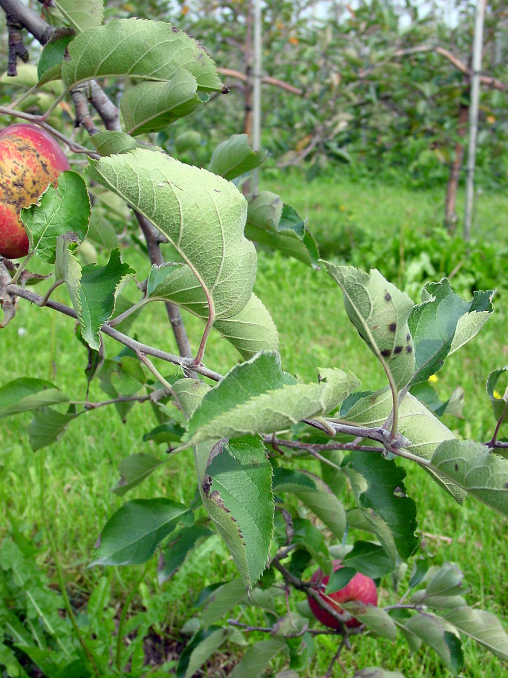 AgroPages-Potential biofungicide against apple scab tested ...