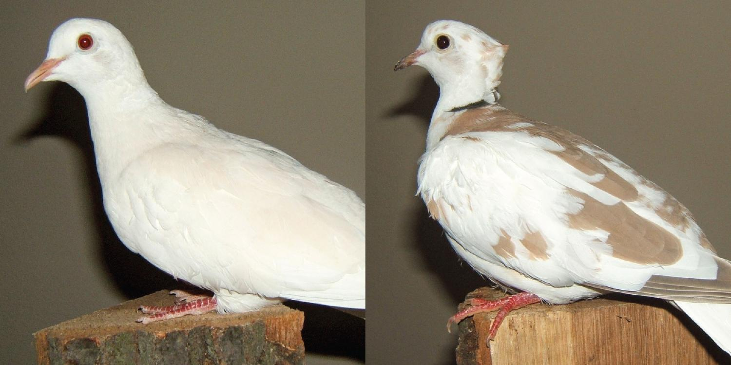 pictures How to Know if Doves Are Right for You