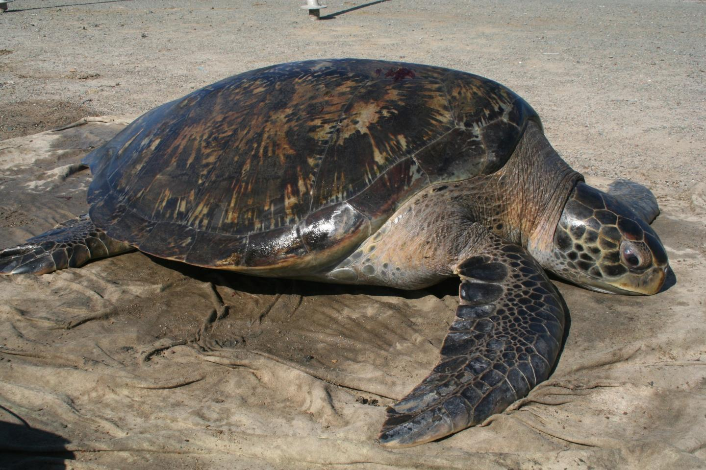 New Method Reveals Female Biased Green Sea Turtle Sex -4873