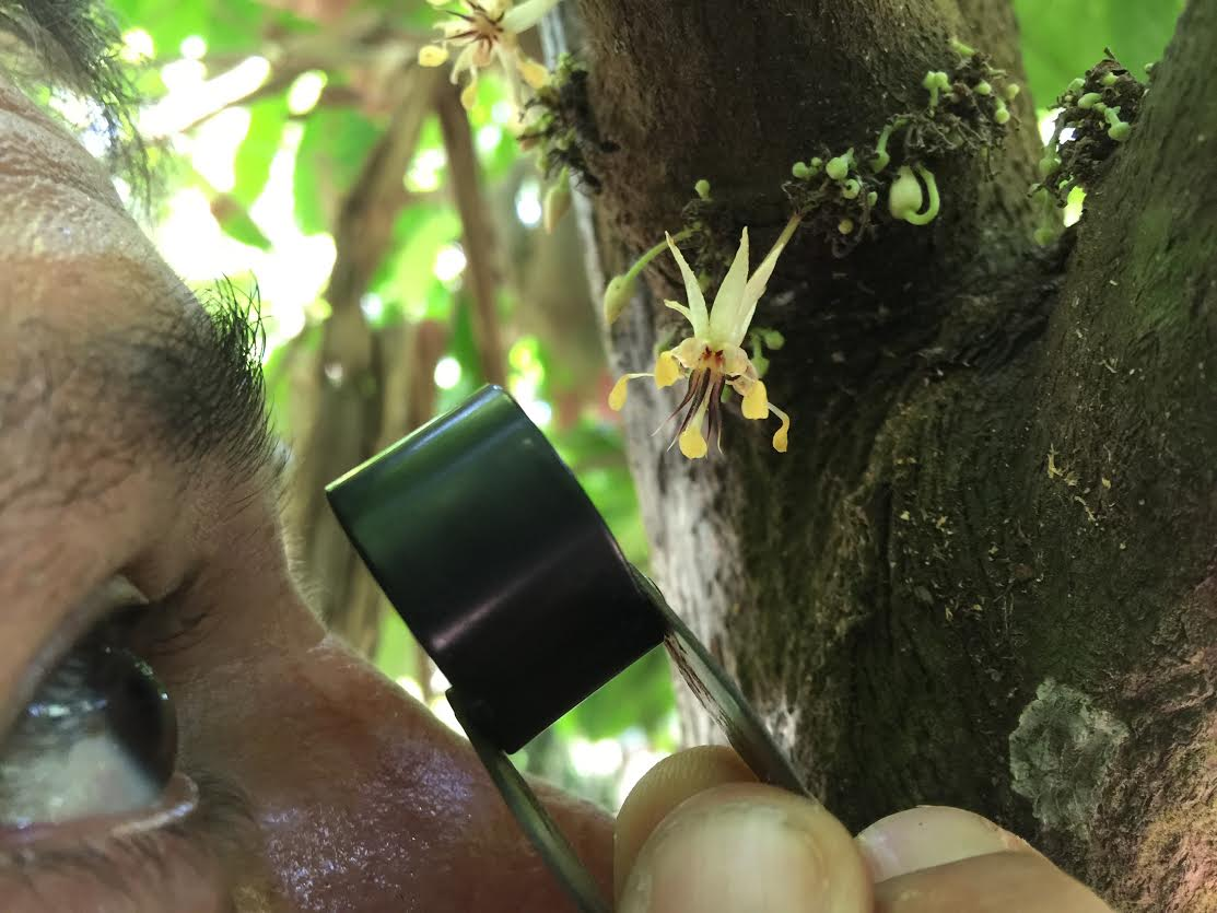 Date the origin of the cacao tree to 10 million years ago co author santiago madrin studying the flowers of the cacao tree in colombia credit santiago madrin sciox Image collections