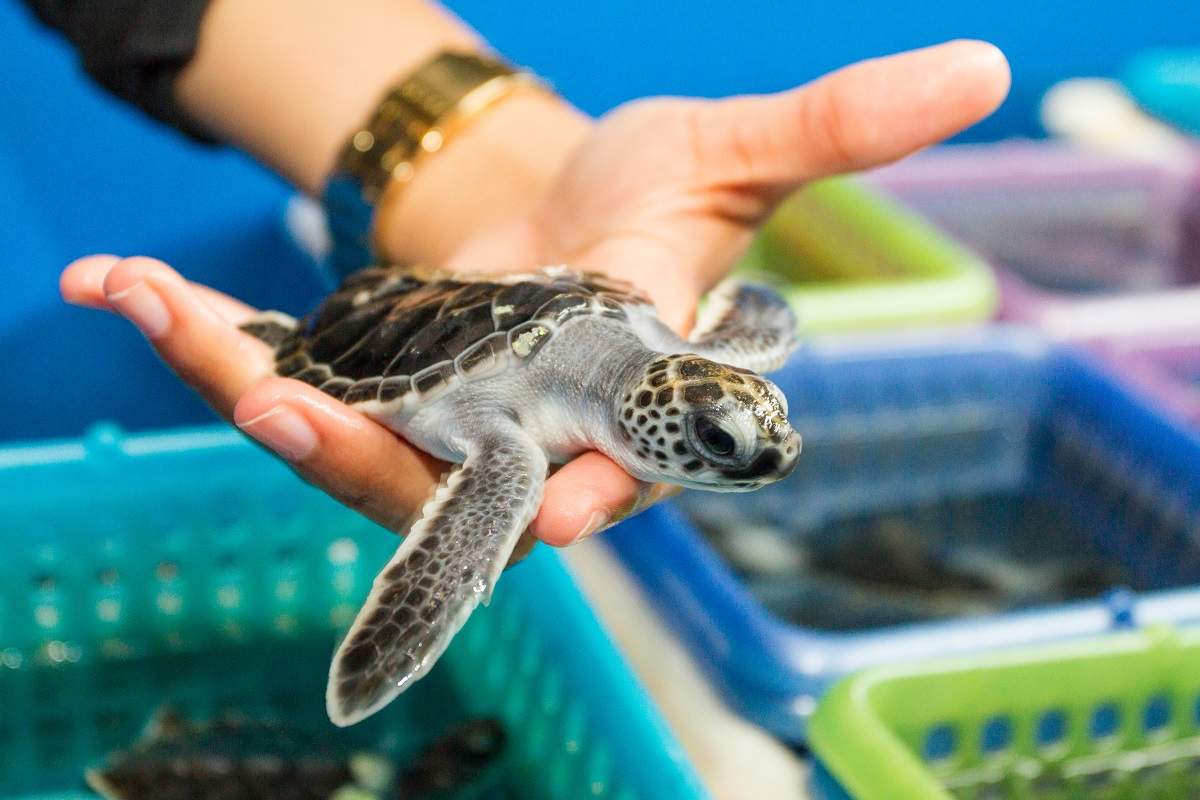 Why are Sea Turtles Endangered? - Lesson for Kids | Study.com