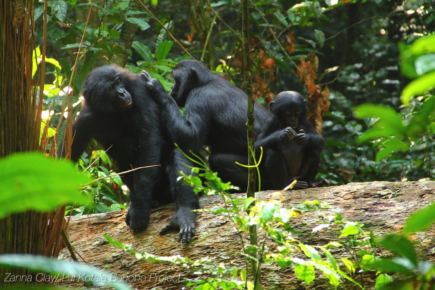 New Study Shows How Complex Bonobo Communication Is Similar To That
