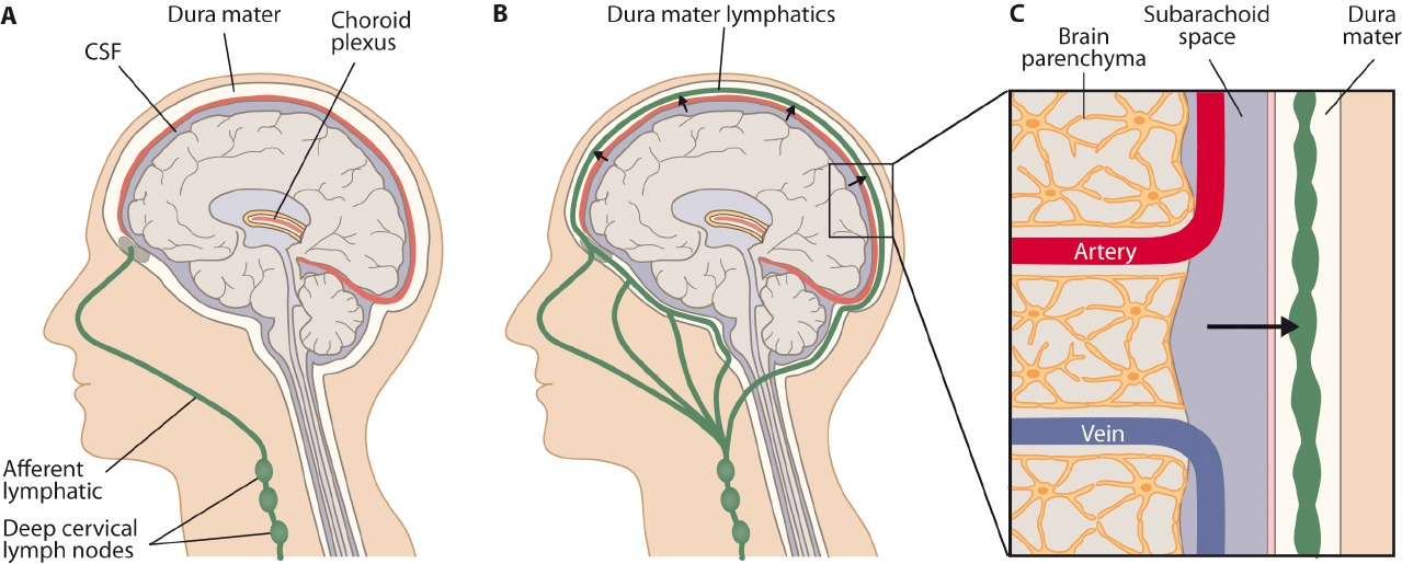Unraveling the link between brain and lymphatic system