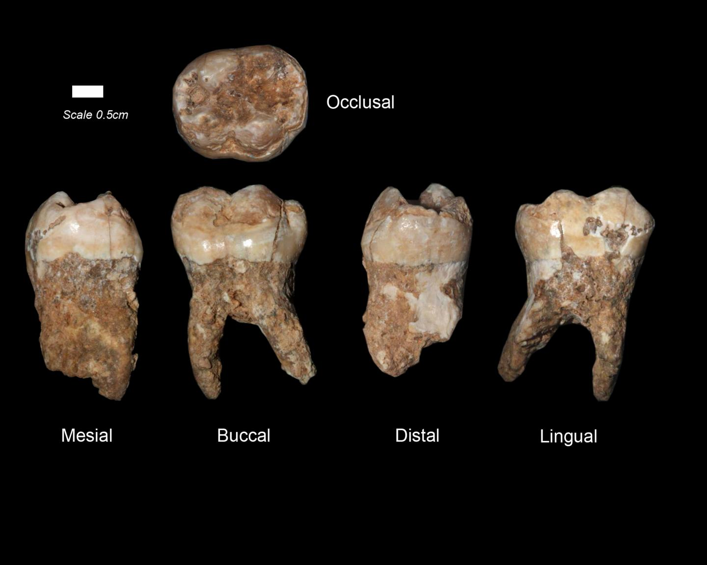 400000 Year Old Dental Tartar Provides Earliest Evidence Of Manmade