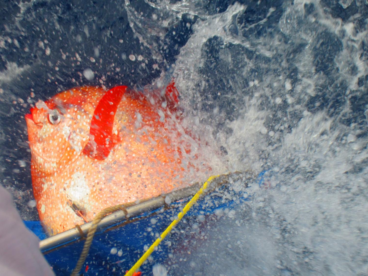 New research reveals first warm blooded fish for Warm blooded fish
