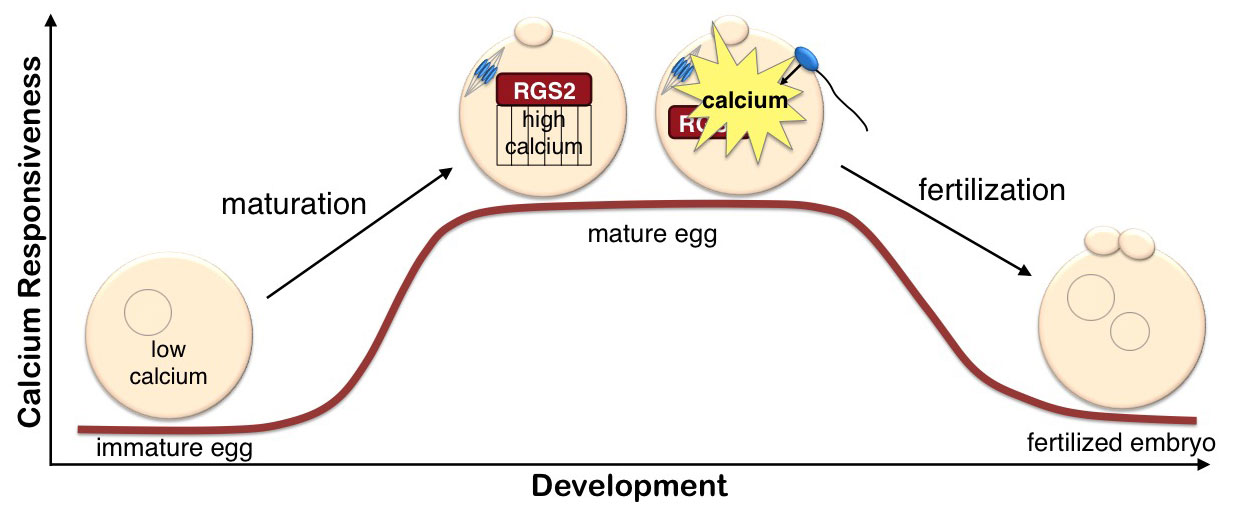sperm and egg not develping