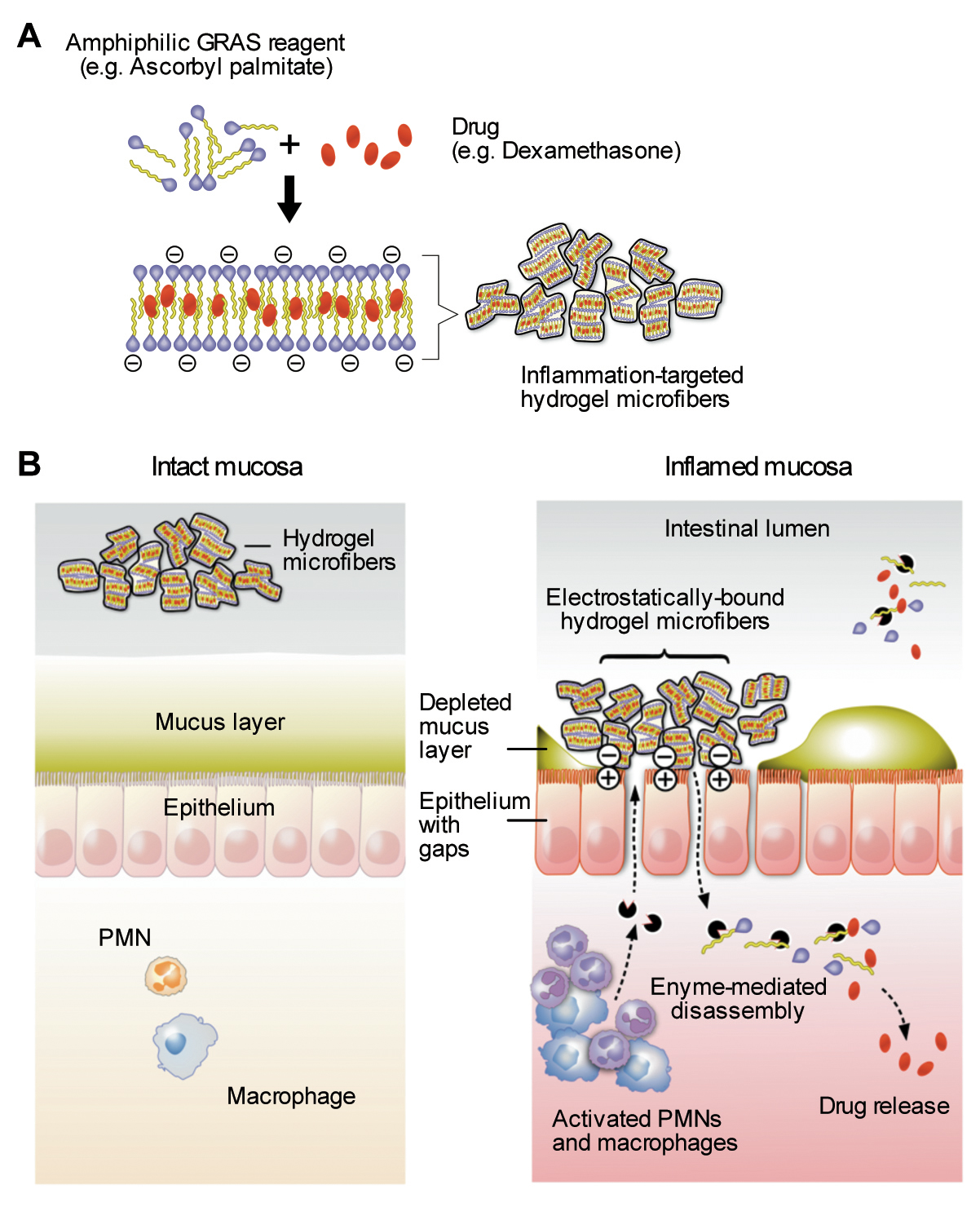 Developing A Targeted Hydrogel To Treat Inflammatory Bowel