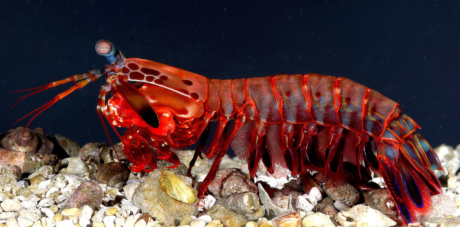 Mantis Shrimp Found To Spar Safely With Deadly Weapons