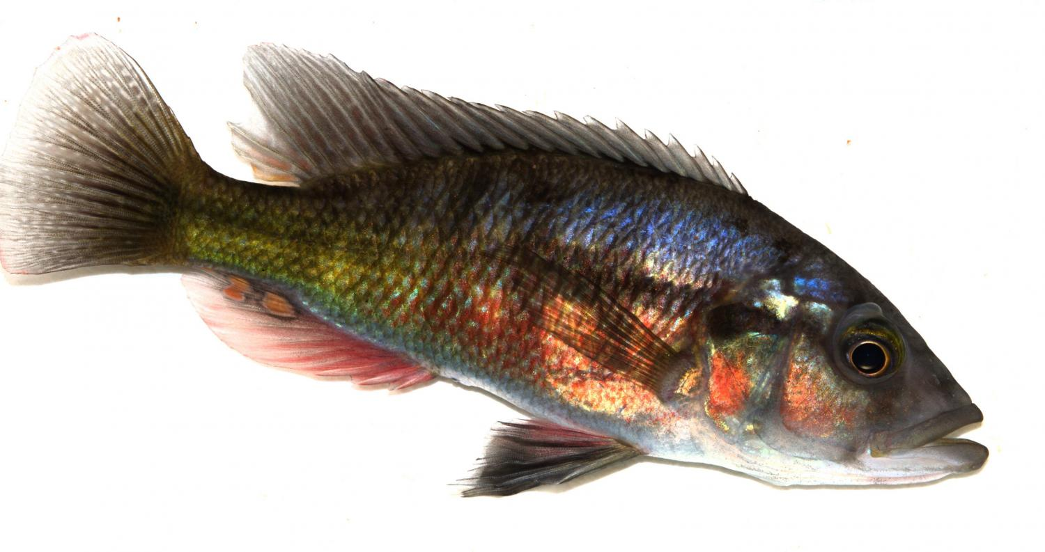 Study shows evolution does not always mean more for Fish that looks like a rock