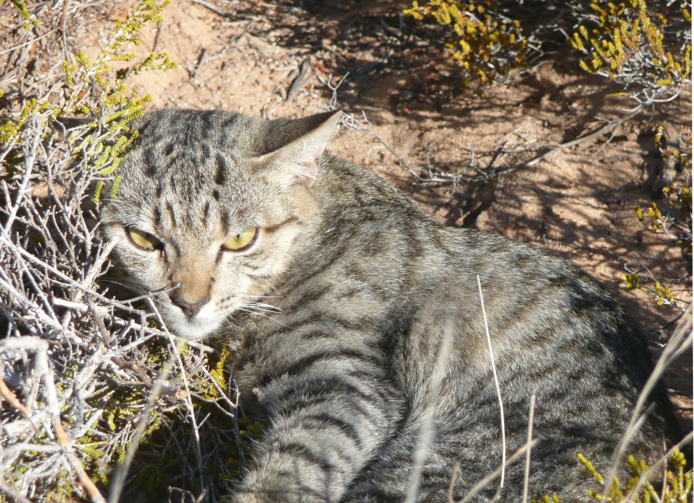 Australische Wildkatze