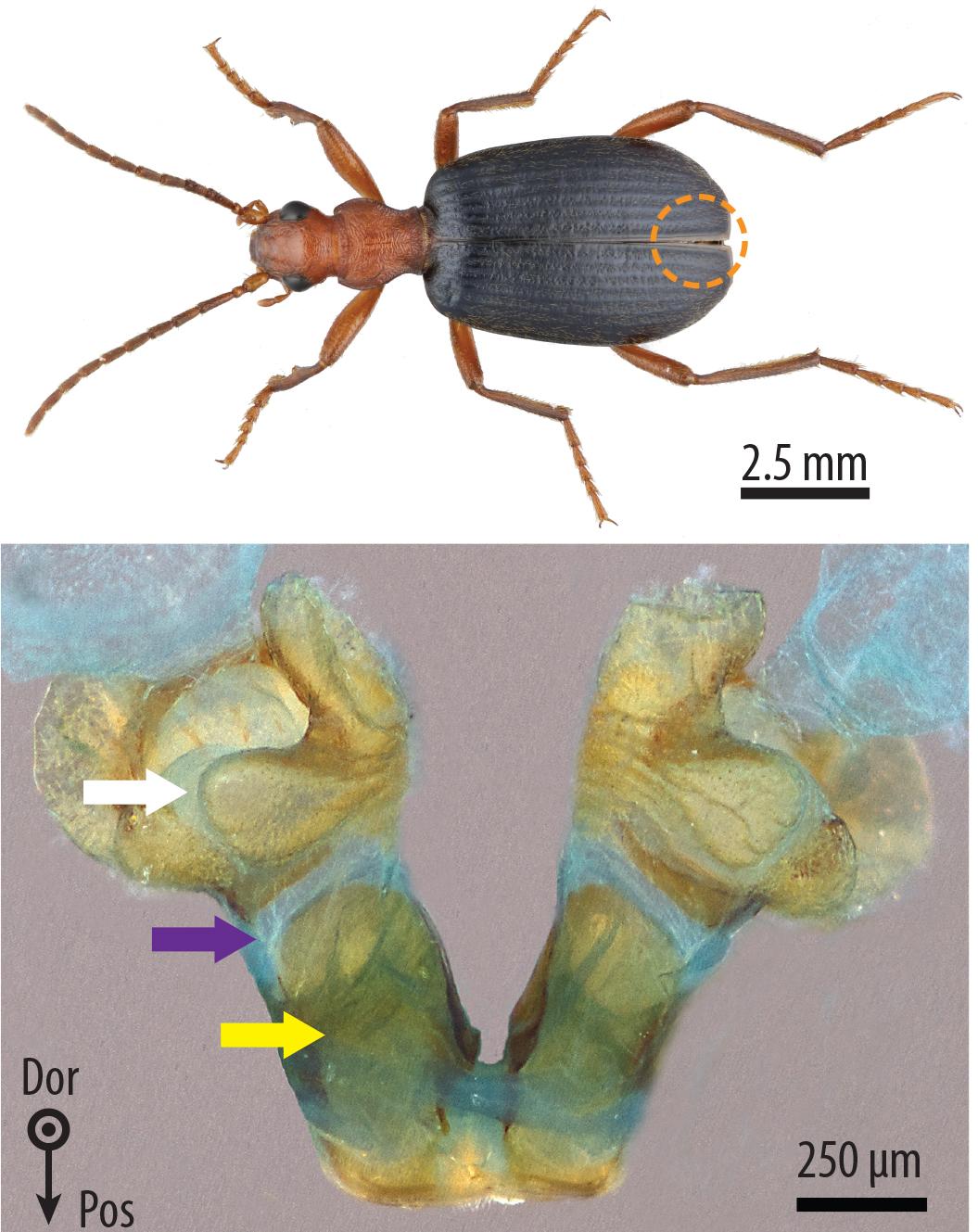 Bombardier beetle defense - photo#10