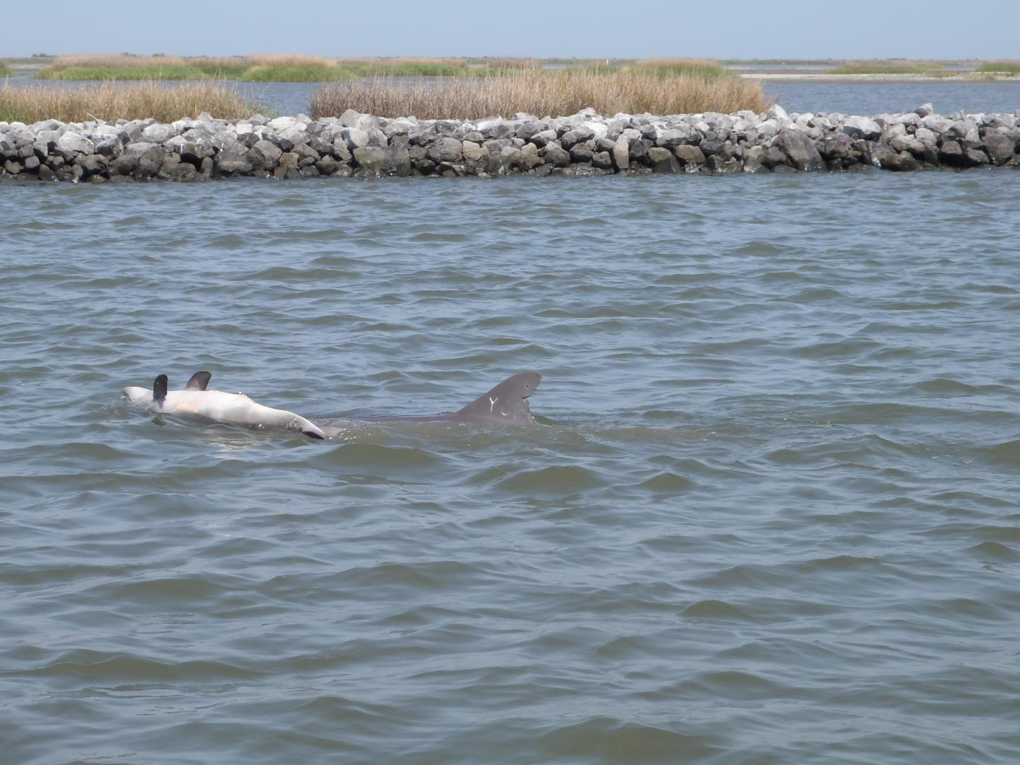reproduction of dolphins hurt by bp oil spill