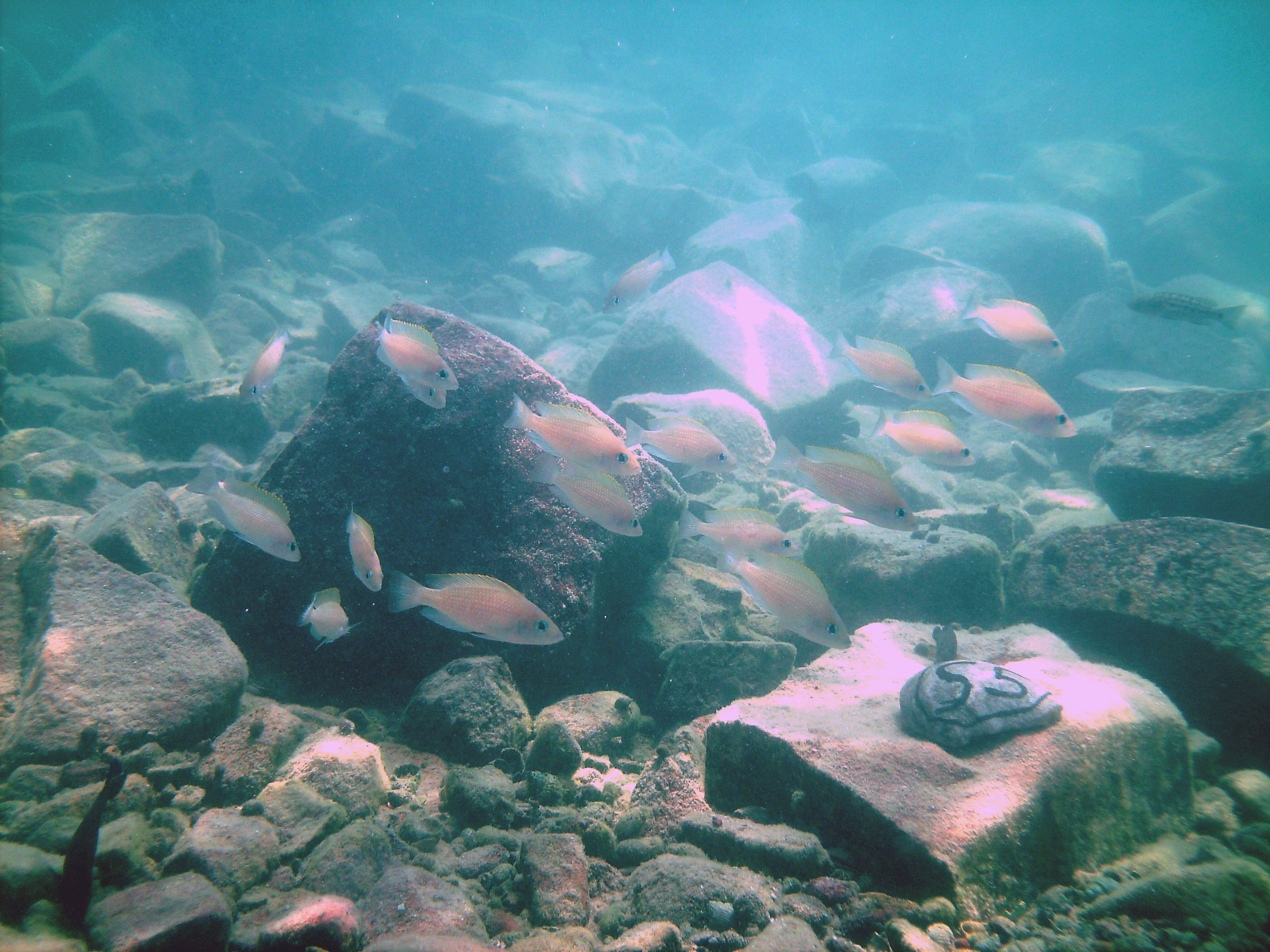 Cichlid sisters swim together in order to reach the goal for Lake tanganyika fish