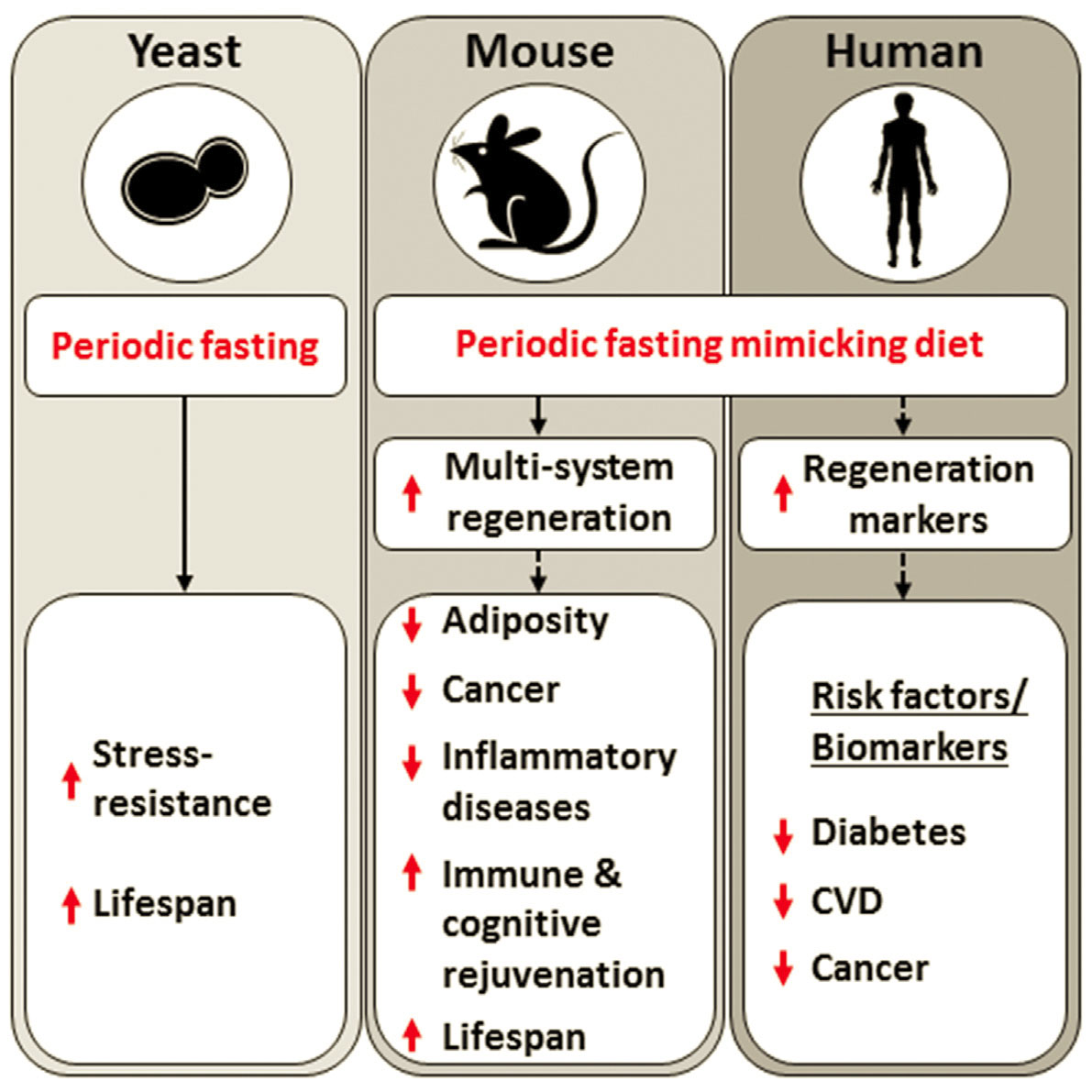 Diet that mimics fasting appears to slow aging