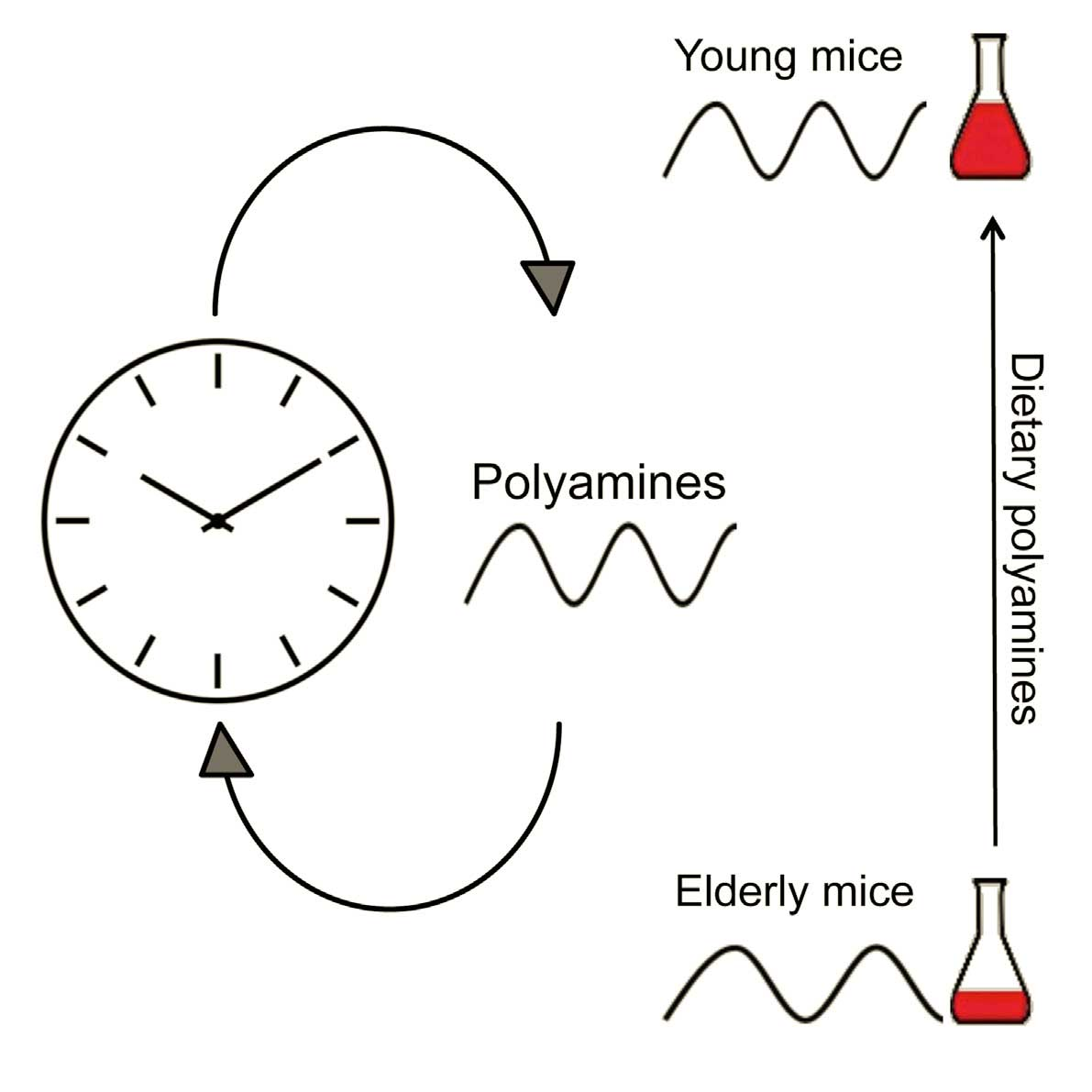 Diet Supplement Keeps Circadian Clock From Slowing Down In Aging Mice This Diagram Depicts White Blood Cells With Parts And Labels Graphic How Associated Decline Polyamine Levels Lead To A Correspondingly Longer Period Which Can Be Reversed By Dietary