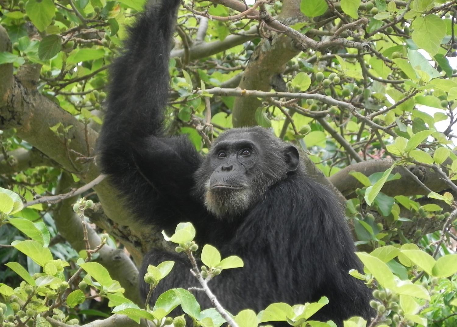 disease poses risk to chimpanzee conservation study finds