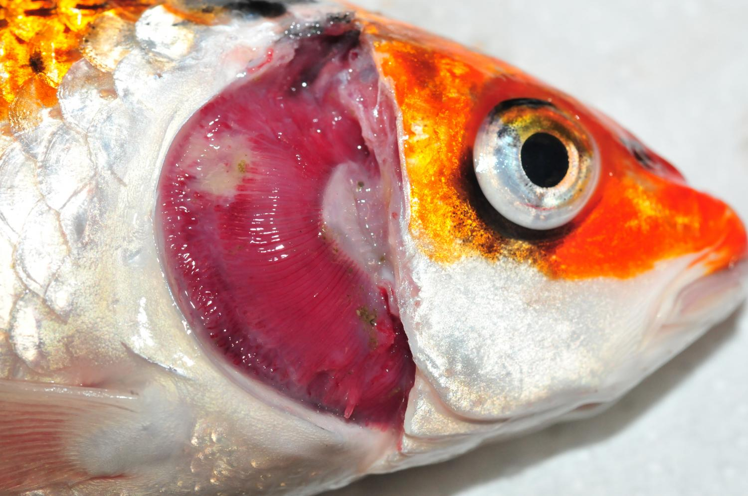 First incidence of koi sleepy disease in austria for Fish eye skin