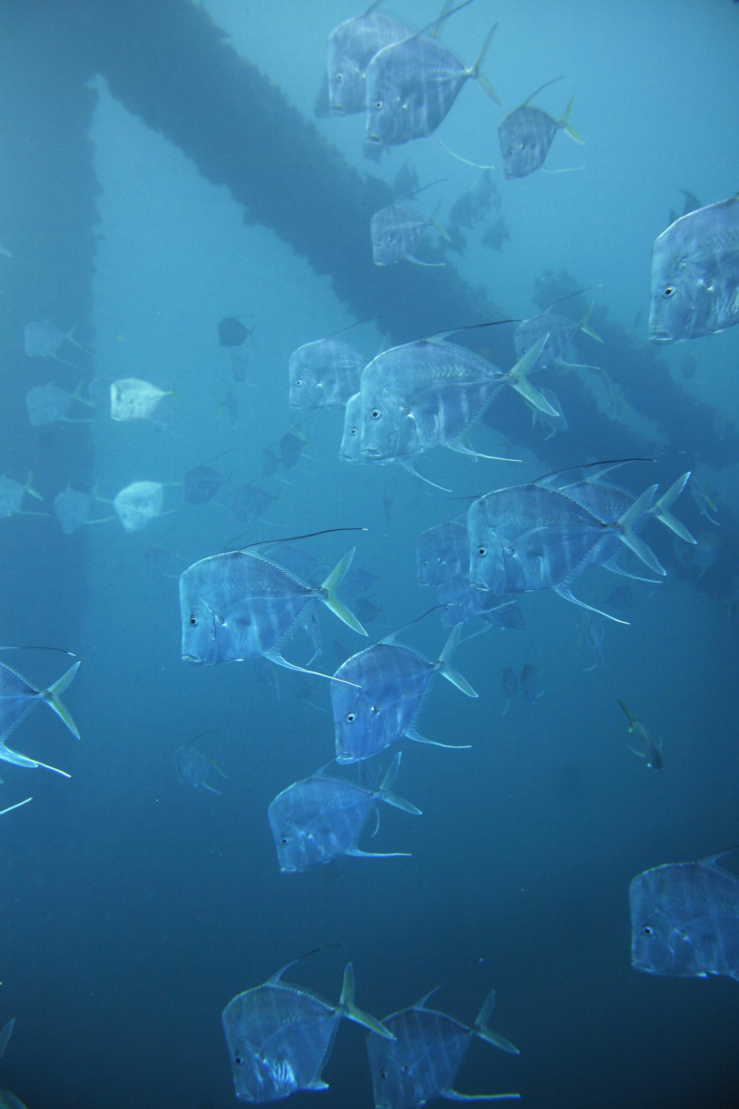 What Could Scientists Learn About >> Scientists discover new camouflage mechanism fish use in open ocean