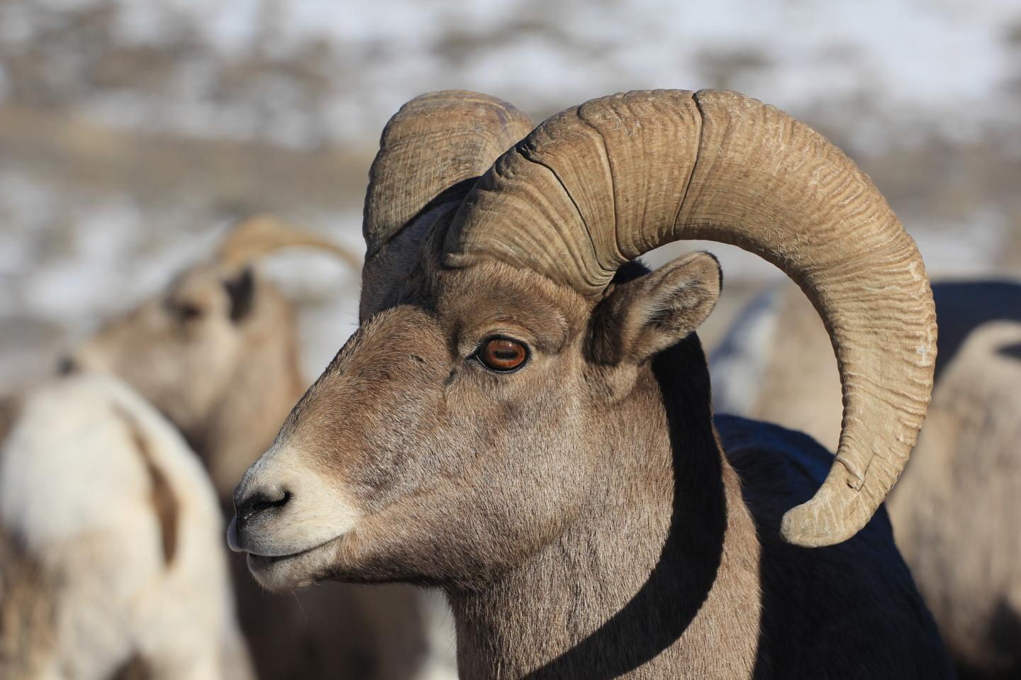 """a study of the bighorn sheep Affecting four herds in western montana alone, has reduced populations of bighorn sheep in numbers up to ninety percent with guarded optimism, wildlife officials are trying to reseed the hardest hit areas the scene depicted in """"an encounter in sheep country"""" is a common sight for those of us who admire and study this."""