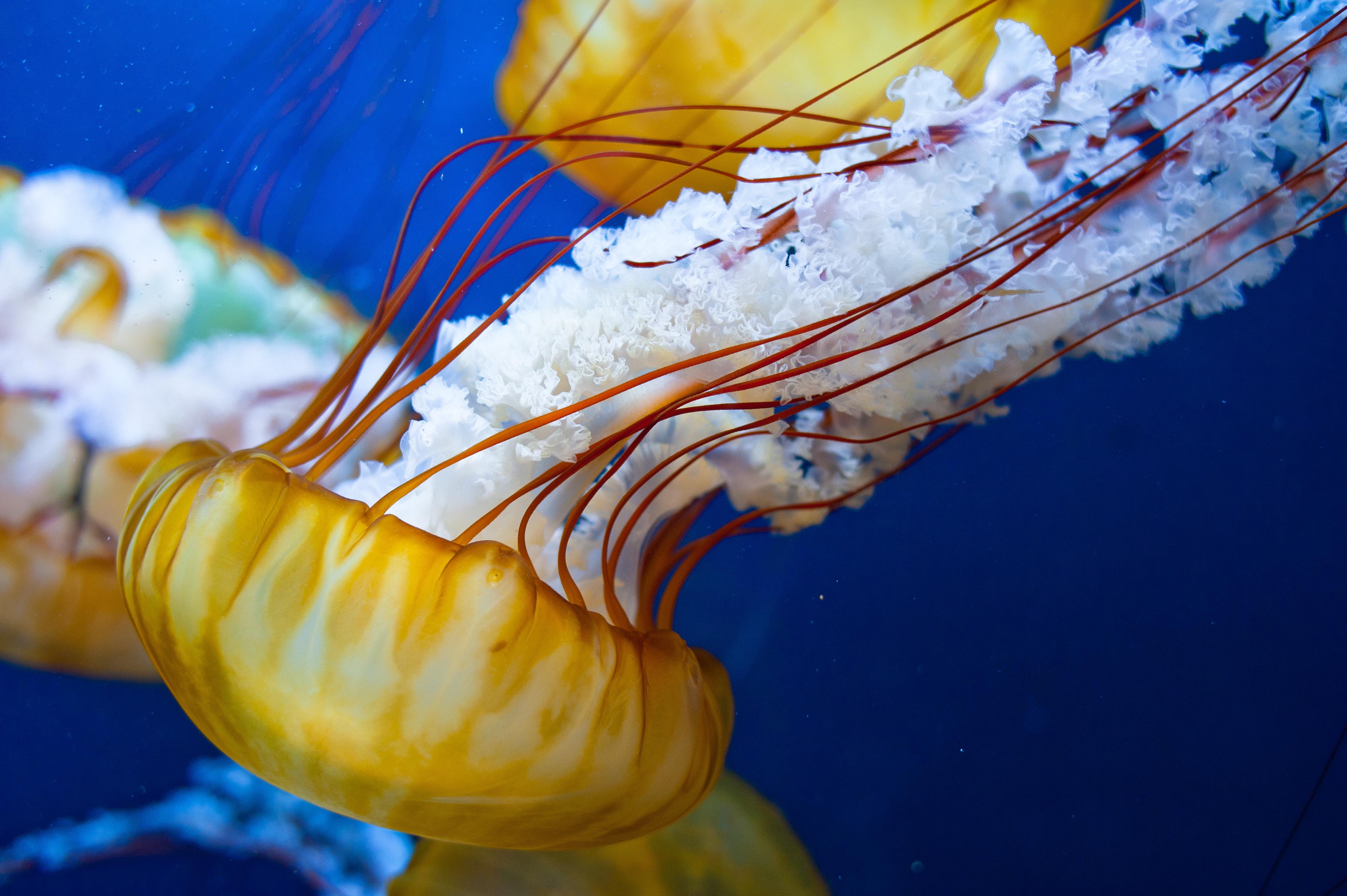 jellyfish venom capsule length association with pain
