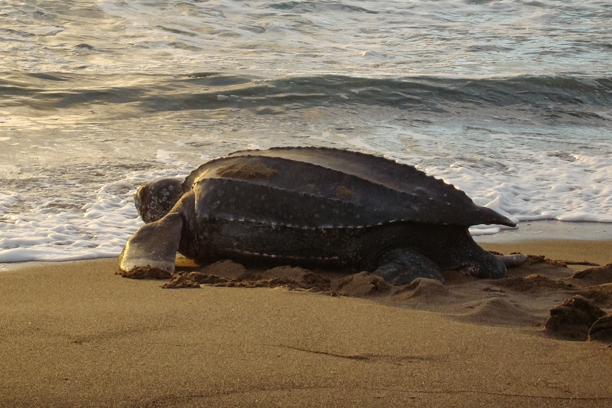 leatherback sea turtles choose nest sites carefully study finds