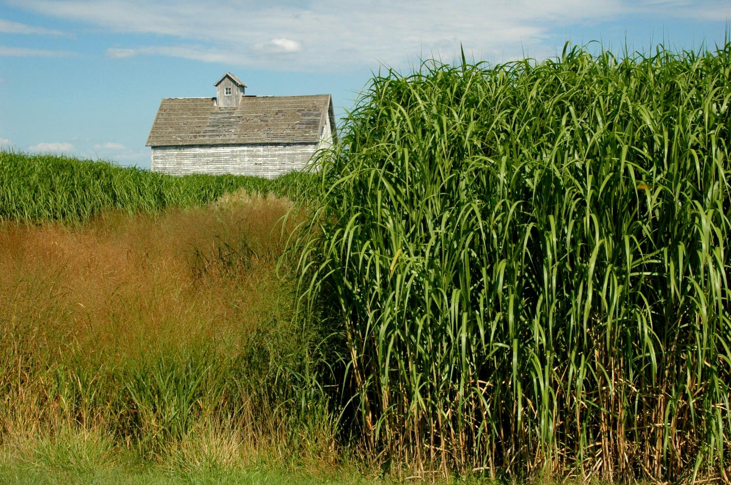 Perennial Grasses Illinois : Miscanthus based ethanol boasts bigger environmental